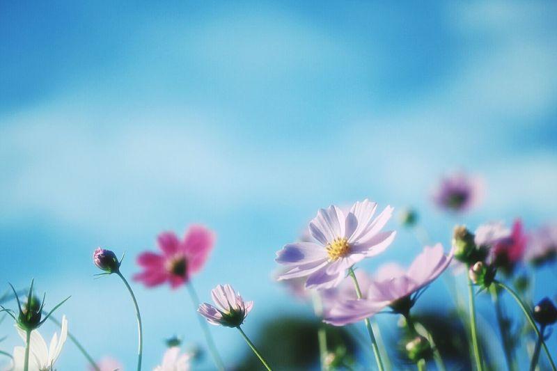 コスモス 京都府立植物園 Blue Sky Flower Collection Flowerpower Flowers_collection