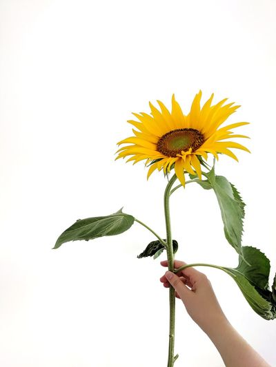 sunflower. take it. Sun Flower Yellow Flower Yellow Color Summer ☀ Colors Of Summer Giving Take It Happy Birthday! Happy Mother's Day! A Present For You ;-) For You Merci Copy Space Get Well Soon Human Hand Flower Head Flower White Background Yellow Child Holding Sunflower Petal Studio Shot Wildflower Uncultivated Botany Plant Life Stem