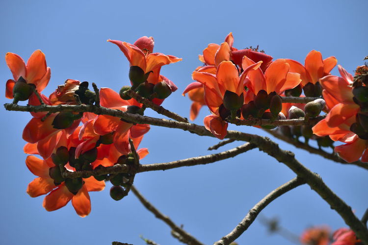 Kapok tree blossoming red orange flower Cotton Tree Beauty In Nature Blue Clear Sky Close-up Day Flower Flower Head Flowering Plant Fragility Freshness Growth Kapok Low Angle View Nature No People Orange Color Orange Flower Outdoors Petal Plant Sky Tree Vulnerability
