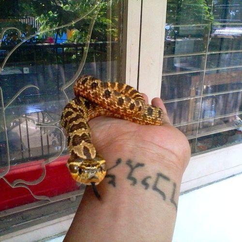 Hognose Reptile Cutesnake