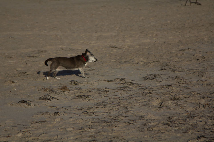 View of a dog running on beach