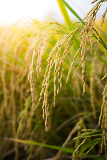 Fresh Agriculture ASIA Asian  Autumn Background Blue Brown Cereal Chinese Close Countryside Crop  Cultivate Detail Dry Farm Farming Farmland Field Foliage Food Gold Golden Grain Grass Green Grow Growth Harvest Healthy Leaf Meadow Natural Nature Organic Paddy Plant Raw Rice Ripe Season  Seed Stem Summer Thailand Tropical Yellow