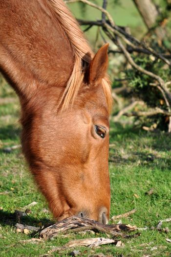 Side View Of Brown Horse Grazing On Grass