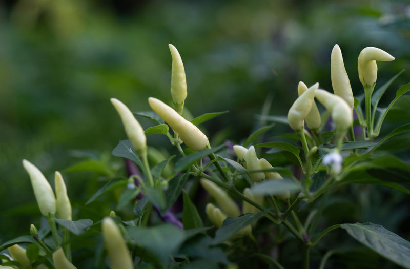 Agricultural Field Organic Organic Farm Green Chili Pepper Chili Pepper Growth Plant Selective Focus Close-up Green Color Beauty In Nature Plant Part Nature Leaf Day No People Flower Freshness Vulnerability  Fragility Flowering Plant Outdoors Focus On Foreground Bud White Color