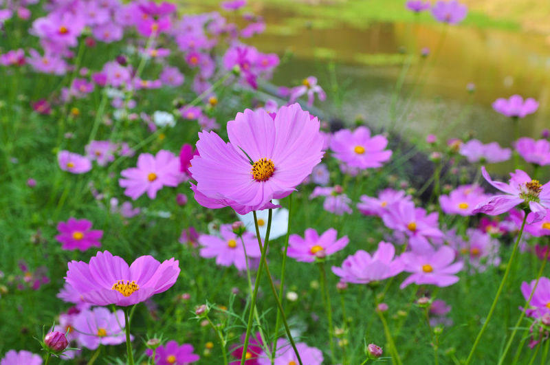 beautiful flowers Flower Pink Color Insect Nature Flower Head Petal Butterfly - Insect Plant Growth Outdoors Day Freshness Close-up Cosmos Flower Beauty In Nature