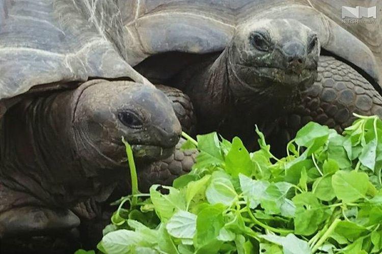 Let's eat, Grandpa. Whpfilltheframe submission for @Instagram Tortoise Oldest Herbivores VSCO Vscocam Sony DSCWX220 Crocodilepark Kanchipuram Chennai Tamilnadu India