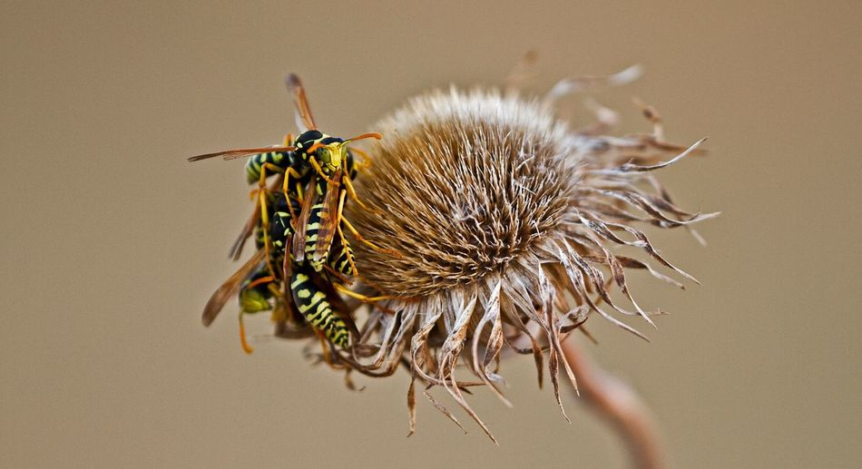 Close-Up Of Wasps On Dried Flower
