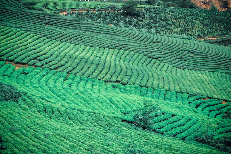 Views of Tea plantation at Vietnam Green Color Land Agriculture Pattern Growth Crop  No People Field Day Beauty In Nature Full Frame Rural Scene Backgrounds High Angle View Nature Scenics - Nature Tranquility Foliage Outdoors Plant Plantation Rural Field Vietnam Green Plant ASIA Nature Freshness Landscape Travel Mountain Highlands Farm Scenery Tourism Destination Asian  Environment Hill Tropical Valley Tea Land Tea Hills Aerial View Famous Places Wallpaper Summer Morning