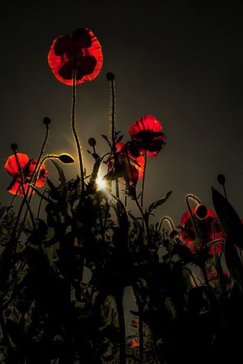 Poppies 4ever &