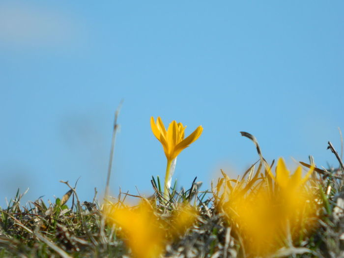 Yellow crocus growing on field against sky