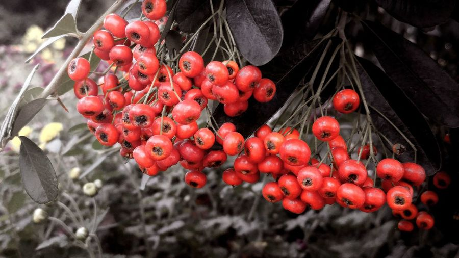 Red Berrys Backgrounds RedFreshness Close-up Tree Nature Growth No People Outdoors
