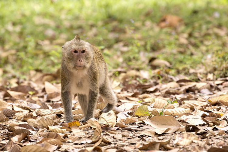 Long-tailed macaque (Macaca fascicularis) Animals In The Wild Mammal Animal Wildlife One Animal Primate Macaque Beautiful Copy Space Long Tailed Macaque Outdoors Nature Crab Eating Macaque Ecology Environment Ecosystem  Conservation Biology Fauna Forest Furry Asian  Macaque Monkey Wild Animal Wildlife Wild