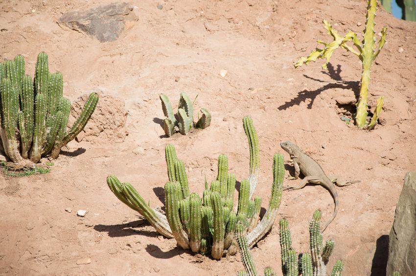 lizard Lizard Sand Cactus Arid Climate Close-up Plant Succulent Plant Aloe Spiked Plant Life Needle - Plant Part Growing