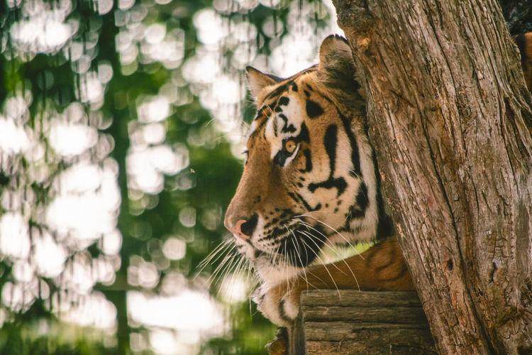 Tiger - ein gut versteckter Beobachter Nahaufnahme Kopf Portrait Sibirischer Tiger Baumstamm Liegend Raubkatze Beobachtend Lauernd Versteckt Abwartend Konzentriert EyeEm Selects Tree Portrait Tiger Feline Close-up Big Cat