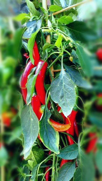Peperoncino Piccante Sinfiltroporqueporsisoloeshermoso EyeEm Best Shots - Nature Green Color Close-up Leaf Nature Plant Spider Web Day No People Growth Red Outdoors Beauty In Nature Botanic Garden Freshness SinFiltros🐞 EyeEm Gallery Huawei Photography