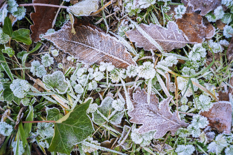 High angle view of dry leaves on snow covered land