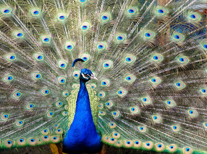Fanned out peacock