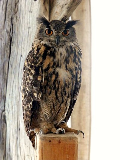 European Eagle Owl Hibou Grand Duc Bird Eagleowl Grand Duc Oiseau Orange Eyes Owl