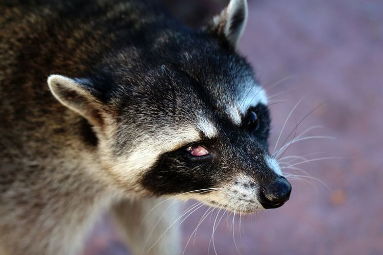 Real color, injured buddy Nature Animals Raccoon Mexico