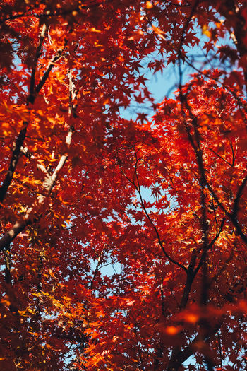 Love Autumn Autumn Tree Plant Orange Color Change Beauty In Nature Branch No People Nature Leaf Plant Part Growth Low Angle View Day Outdoors Tranquility Backgrounds Full Frame Maple Leaf Red Natural Condition Tree Canopy  Fall Autumn Collection Autumn colors 2018 In One Photograph