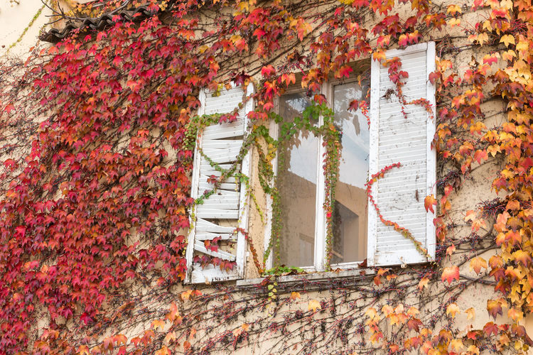 Architecture Autumn Building Building Exterior Built Structure Change Creeper Plant Day Growth House Ivy Leaf Leaves Multi Colored Nature No People Outdoors Plant Plant Part Red Wall - Building Feature Window