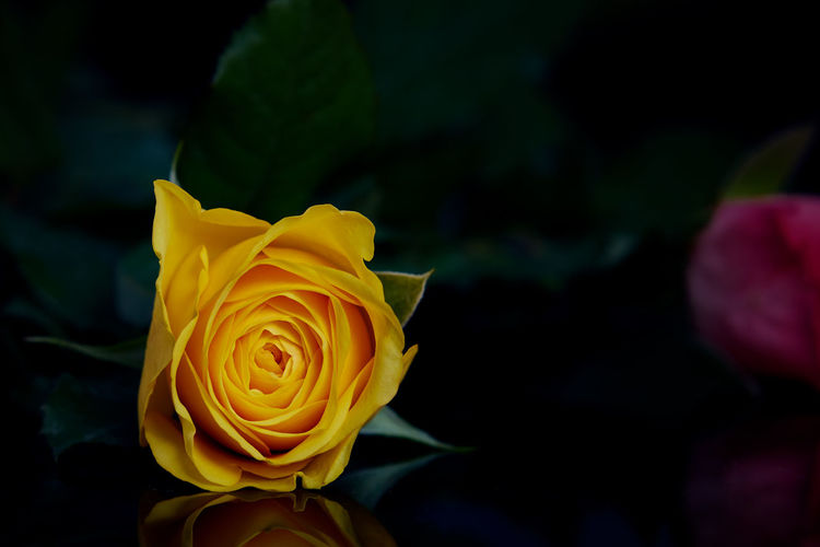Yellow Rose Beauty In Nature Blooming Close-up Flower Flower Head Fragility Freshness Growth Nature Night No People Outdoors Petal Plant Rose - Flower Roses Springtime Yellow Yellow Rose