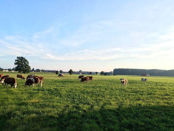 Bavarian Cows Bavaria Bavarian Landscape Upper Bavaria Bavarian View
