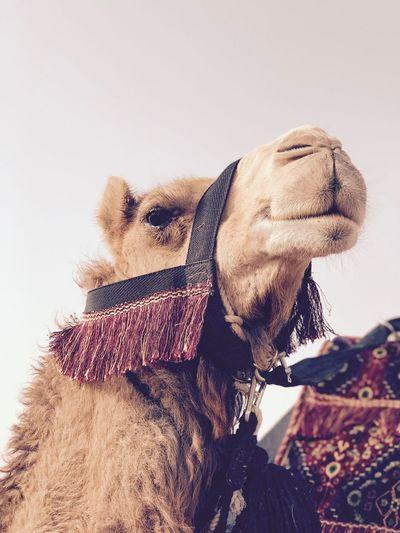Camel Festival Desert Life Egypt Dubai Kuwait Saudi Arabia Desert EyeEm Best Shots Summer Exploratorium EyeEmNewHere