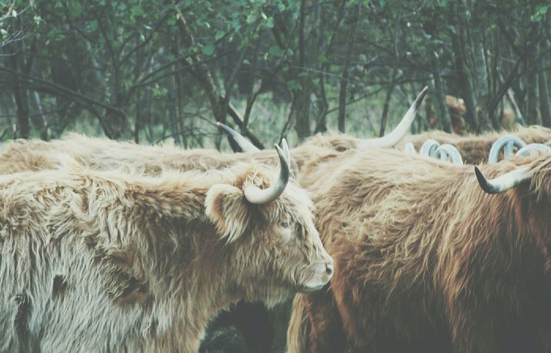 Highland Cattle Animals Animal_collection Animal Nature Nature_collection EyeEm Nature Lover Softness Canonphotography Canon Rebel XT EyeEm Best Shots Walking Around Getting Inspired Taking Photos Hello World Hi! Check This Out Cattle Buffalo HighlandCows