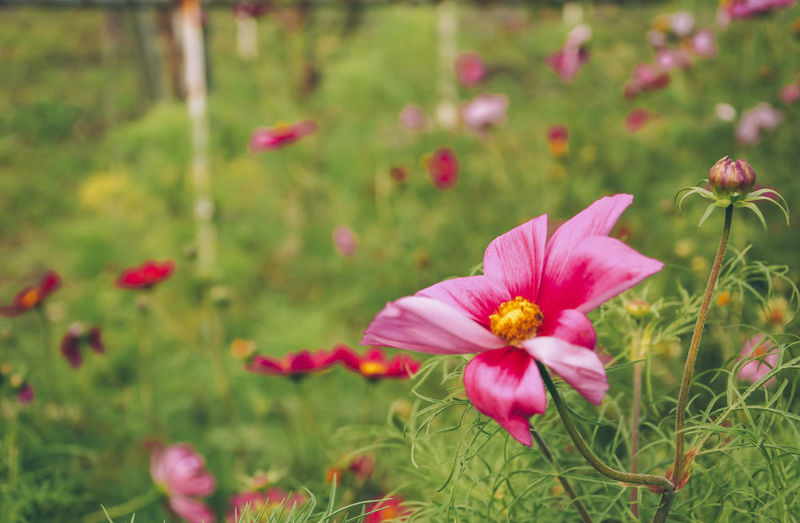 Beauty In Nature Blooming Close-up Day Flower Flower Head Focus On Foreground Fragility Freshness Grass Growth Nature No People Outdoors Petal Pink Color Plant Pollen