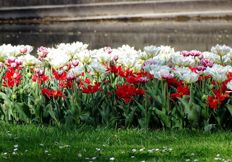 Tulips Tulip Spring Flowers Flower Collection Beauty In Nature Flower Head Flower Springtime Red Flowerbed Petal Blooming