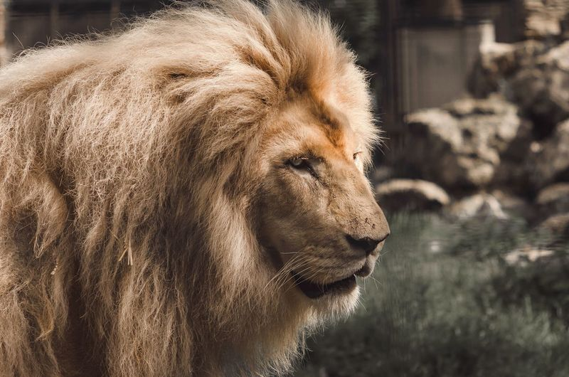 Mane Man Male Lion Zoo Photography  Zoology Zoo Big Cat Mane Lions Mane Lions Head Lion Mammal Animal Themes Animal One Animal Close-up Focus On Foreground Animal Wildlife Feline Animal Head  Lion - Feline Side View Portrait