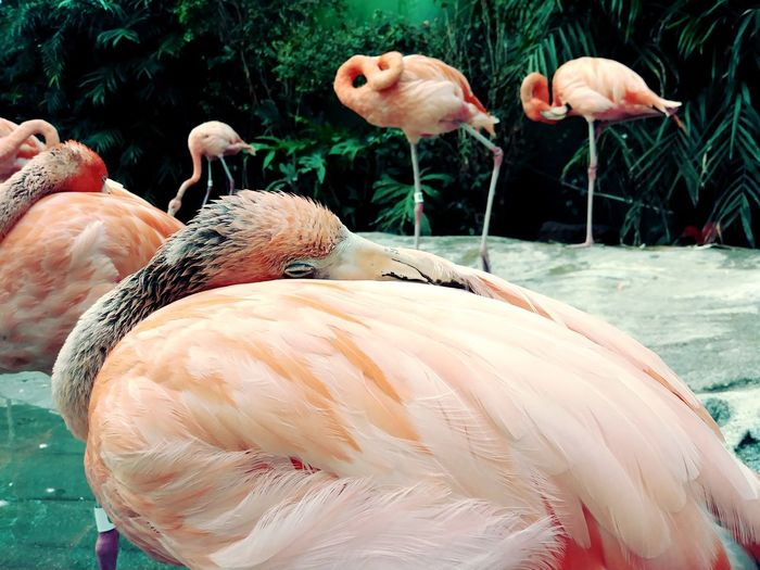 Sleeping Flamingo Flamingo Bird Water Pink Color Colony Close-up Beak Water Bird Preening