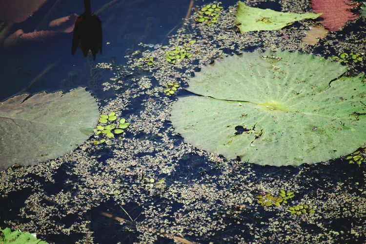 Lotus Flower Waterlilies Reflections Green Color Water Lake Nature_collection No People Beauty In Nature