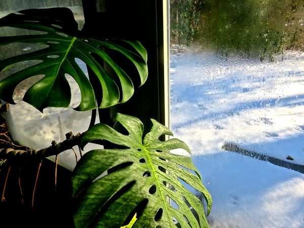 Botany Glass House Green Color Growth Leaf Looking Out Of The Window Monster Swiss Cheese Plant Monstera Deliiciosa Nature Plant Snow ❄ Tropical Plant Condensation