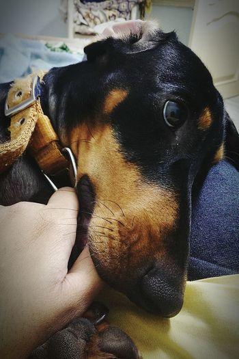 Dog Love Dachshund Cutenessoverloaded Jackiechan!!!