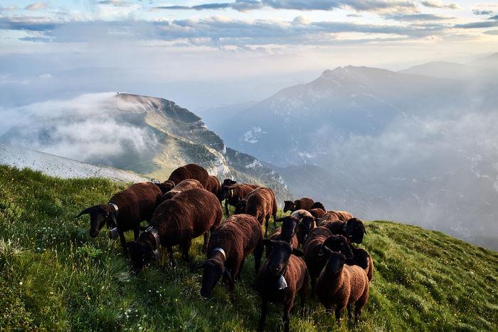 Sheeps flock on Pavione Mountain, Primiero, Trentino, Italy Dolomites Dolomiti Bellunesi Feltre Primiero Trentino Alto Adige Alps Cloud - Sky Herbivorous IMer Livestock Nature Sheeps Sky Sunrise Sunset Vette Feltrine