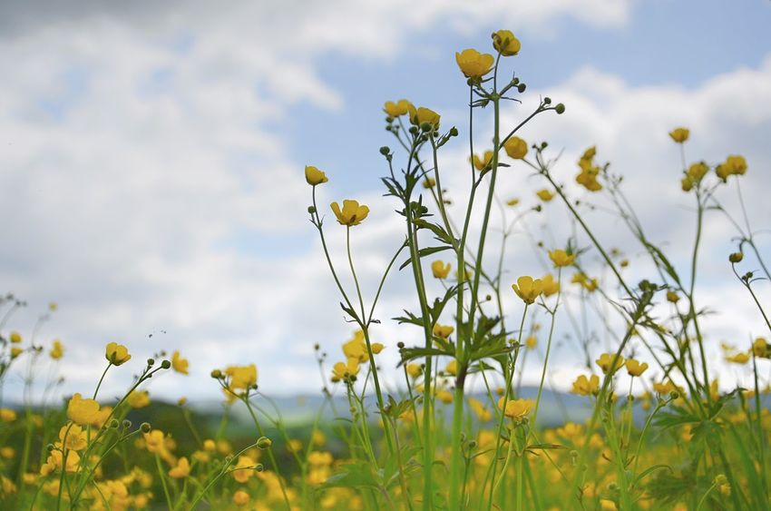 Beauty In Nature Close-up Field Flower Flower Head Flowering Plant Fragility Freshness Land Nature No People Outdoors Plant Plant Stem Sky Springtime Yellow