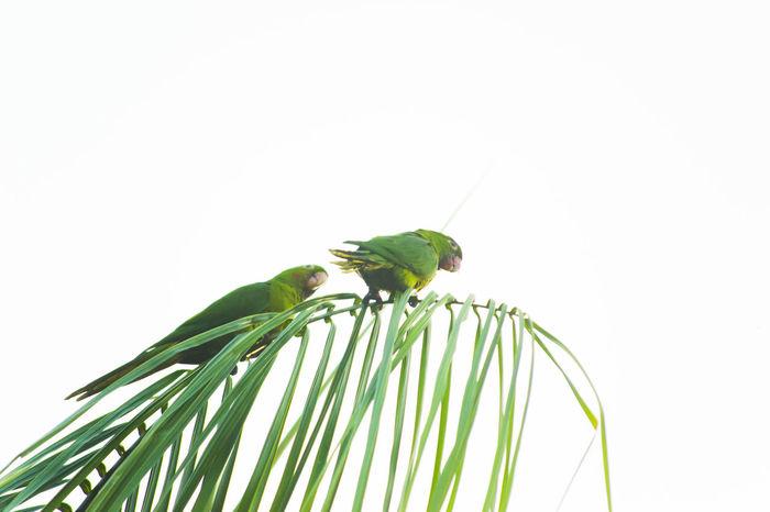 Maritacas Bird Birds Birds Of EyeEm  Brazilian Bird Green Green Color Maritaca Maritacas Nature No People Palm Tree Plant