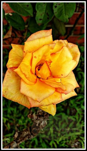 My Yellow Rose ........ Flower Collection Roses JustGPhotos Eye4photography  EyeEm Nature Lover EyeEm Gallery