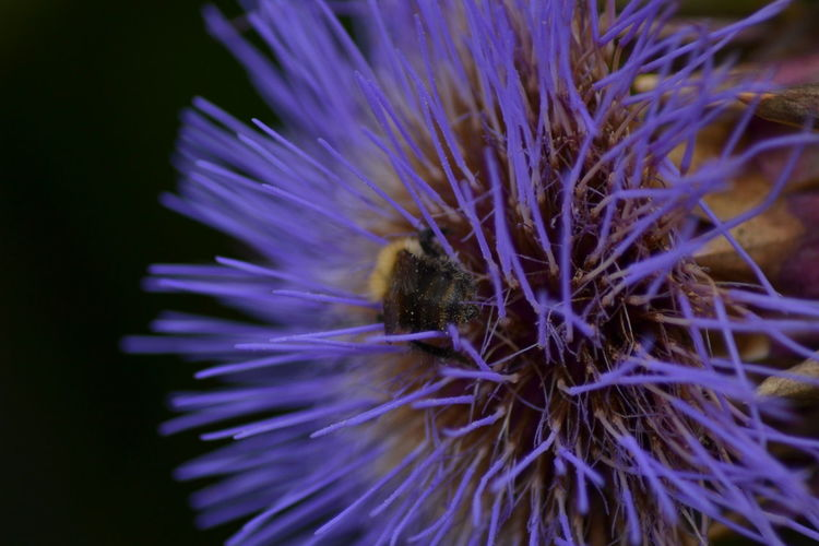 Beauty In Nature Bee Close-up Flower Flower Head Focus On Foreground Macro Beauty Nature No People Plant Purple Selective Focus