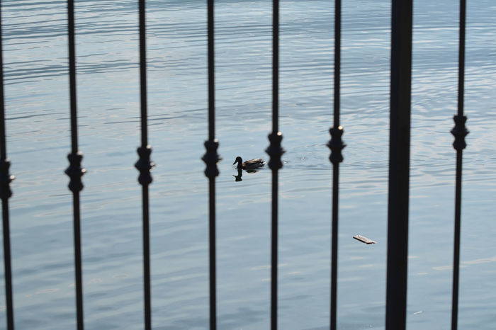 Duck behind the bars, on the lake - Onno, Lombardy, Italy. Italia Lakefront Lario Lombardy Travel Animal Animals Bird Birds Duck Europe Italian Italy Lake Lecco Lecco Lake Lombardia Oliveto Lario Onno Tourism Water Waterfront
