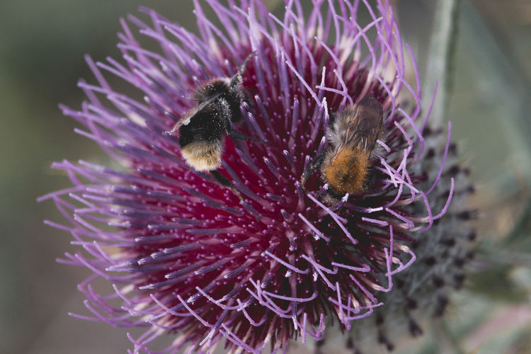 Close-up of bee on thistle