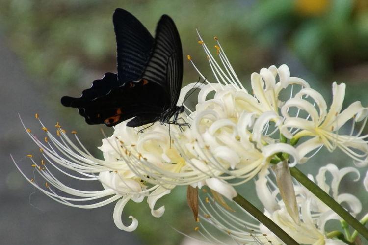 彼岸花 Autumn Colors Autumn Collection 曼珠沙華 Autumn Insect Outdoors Nature_collection EyeEm Best Shots Flower EyeEm Nature Lover Butterfly - Insect Cluster Amaryllis