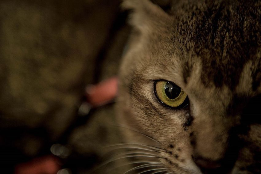 Cats Pets Close-up Cat Selective Focus Animal Eye Cat Eyes Cute One Animal Cat Lovers