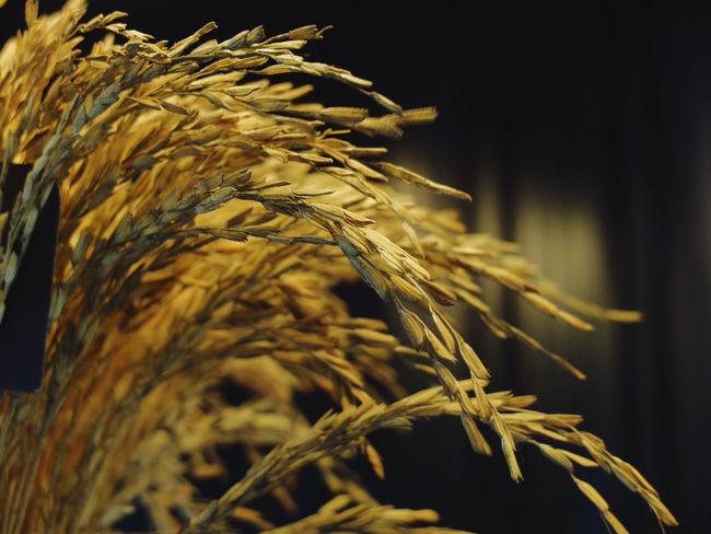 🌾 ✨ Cereal Plant Close-up Plant Nature No People Agriculture Growth Wheat Ear Of Wheat Outdoors Day Fresh Buetiful Flowers, Nature And Beauty Photographic Memory