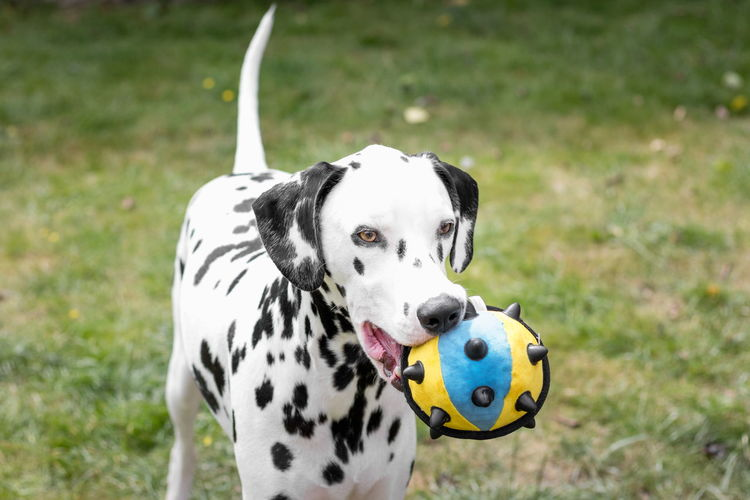 Dalmatian Holding Ball And Standing On Grassy Field