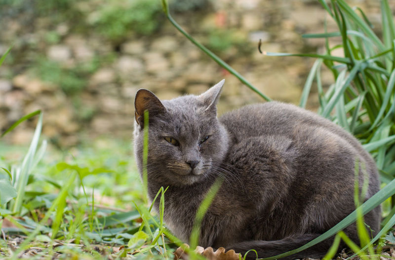 Animal Themes Mammal Animal One Animal Domestic Cat Cat Feline Domestic Domestic Animals Vertebrate Pets Grass Plant No People Focus On Foreground Day Field Nature Whisker Close-up Animal Head