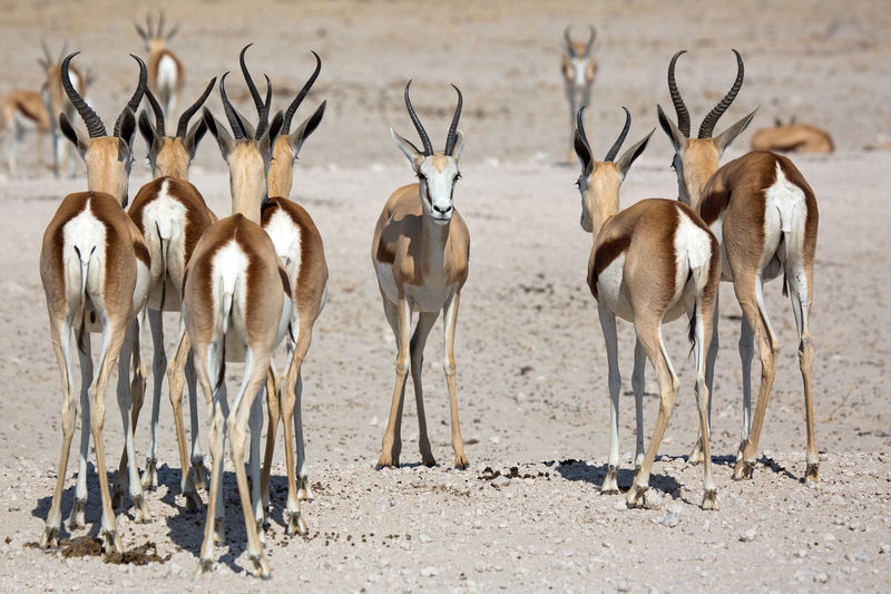 Antelopes on land
