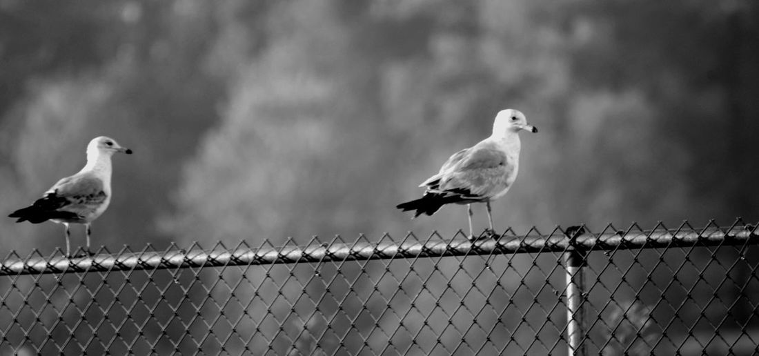 Seagulls On Chainlink Fence